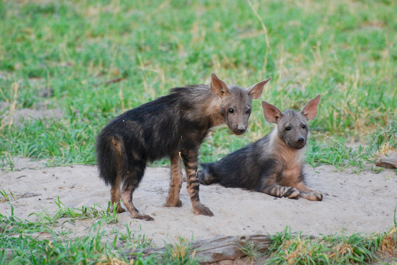 Baby wild dogs on safari in Botswana with GeoEx.