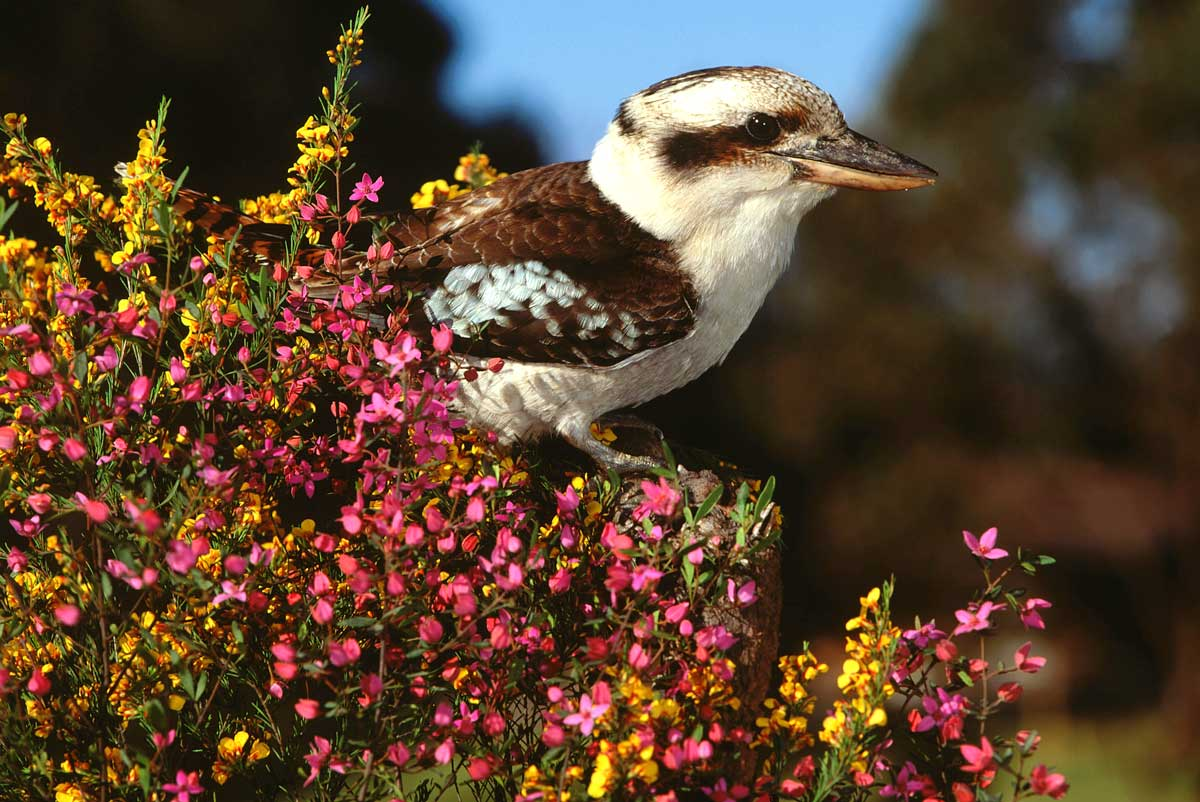 Kookaburra bird, Australia with GeoEx