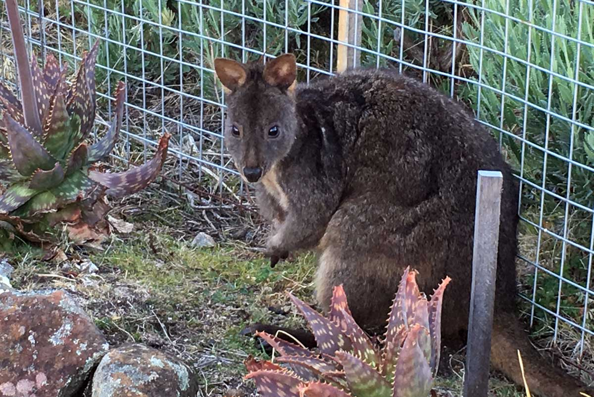 Pademelon on Maria Islanda, Tasmania with GeoEx