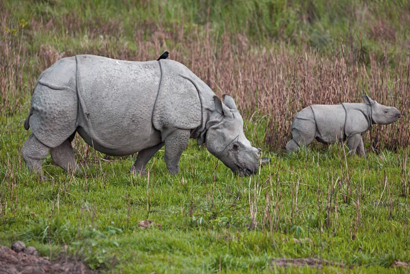 A mother great Indian one-horned rhino and her calf in Kaziranga National Park, India
