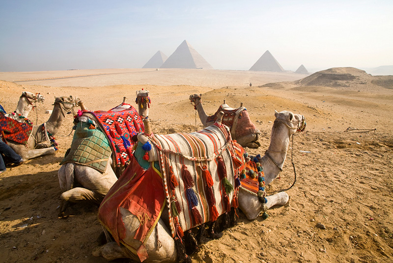 Camels gaze across the desert sands of Giza to the famed Egyptian pyramids outside Cairo