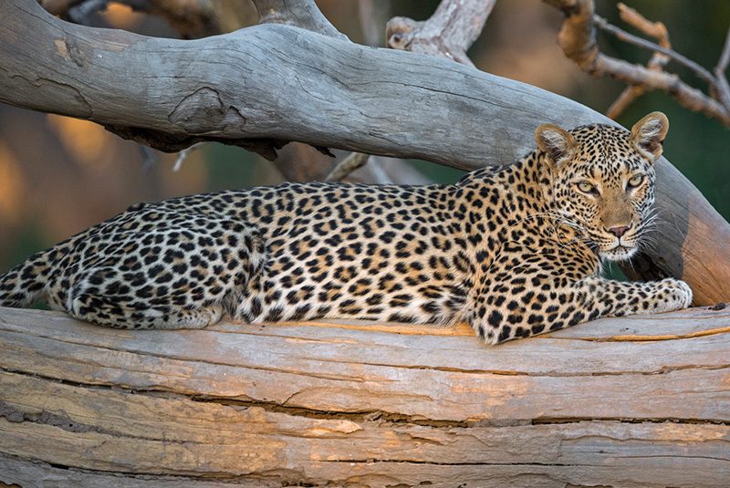 Leopard basking in late afternoon sunlight in Lower Zambezi National Park, Zambia