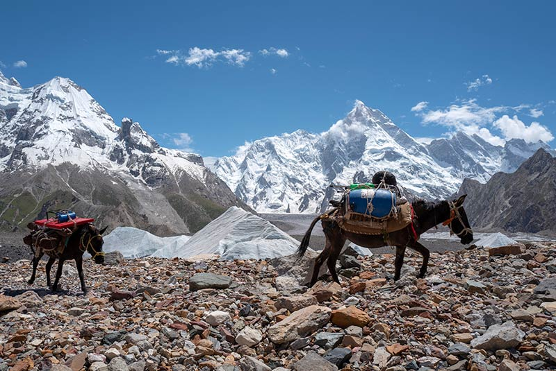 Two mules carrying supplies on the K2 Trek, Pakistan