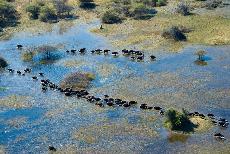 Aerial image of a herd of Cape Buffalo in the Kwedi Concession of Botswana's Okavango Delta