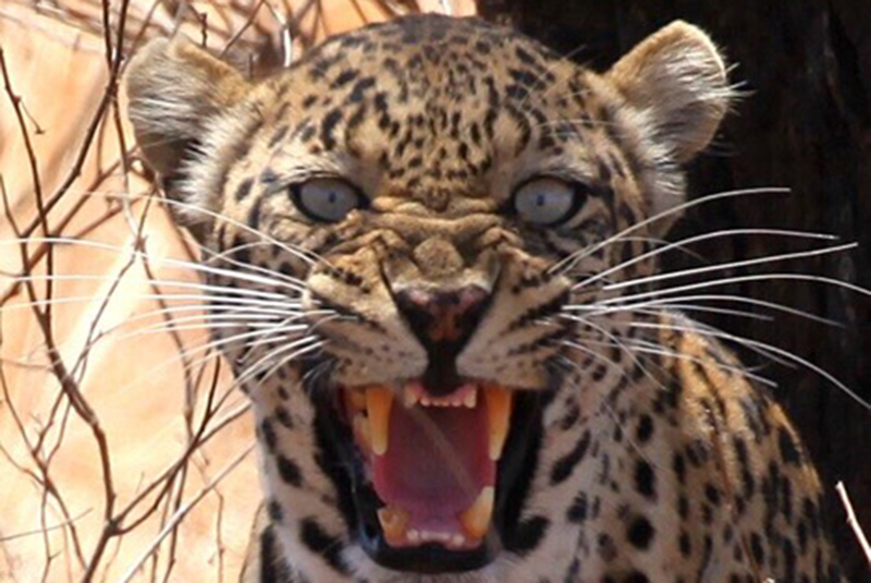 Leopard snarling in Tanzania