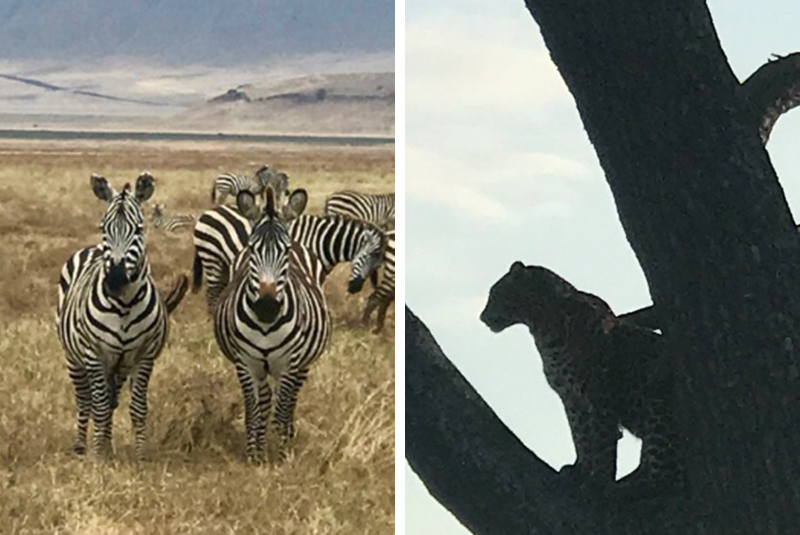 Zebras and first leopard sighting in Tanzania