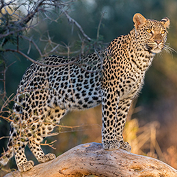 A leopard standing on a log in the early morning, Okavango Delta, Botswana.