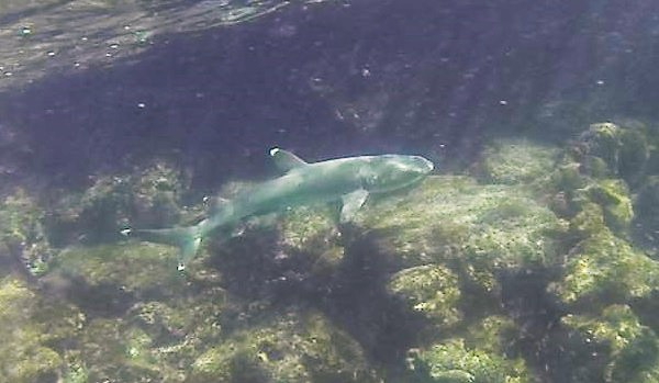 White-tipped reef shark swims by: Galapagos Adventure Travel with GeoEx