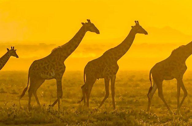 Giraffes walking at sunrise in the Serengeti, Tanzania