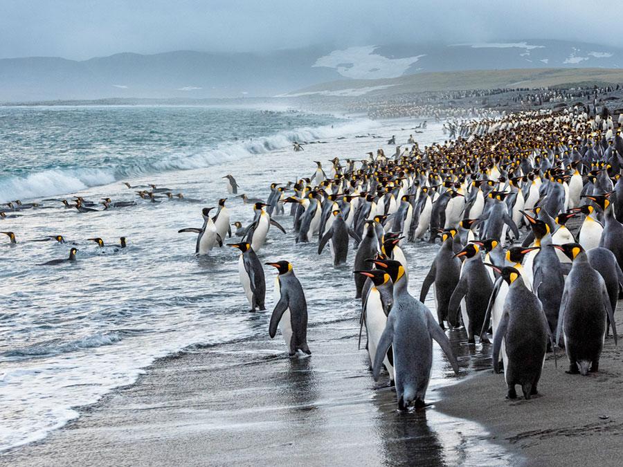 Penguins on South Georgia Beach near Antarctica