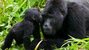 Infant mountain gorilla kisses silverback Bwindi Impenetrable National Park, Uganda