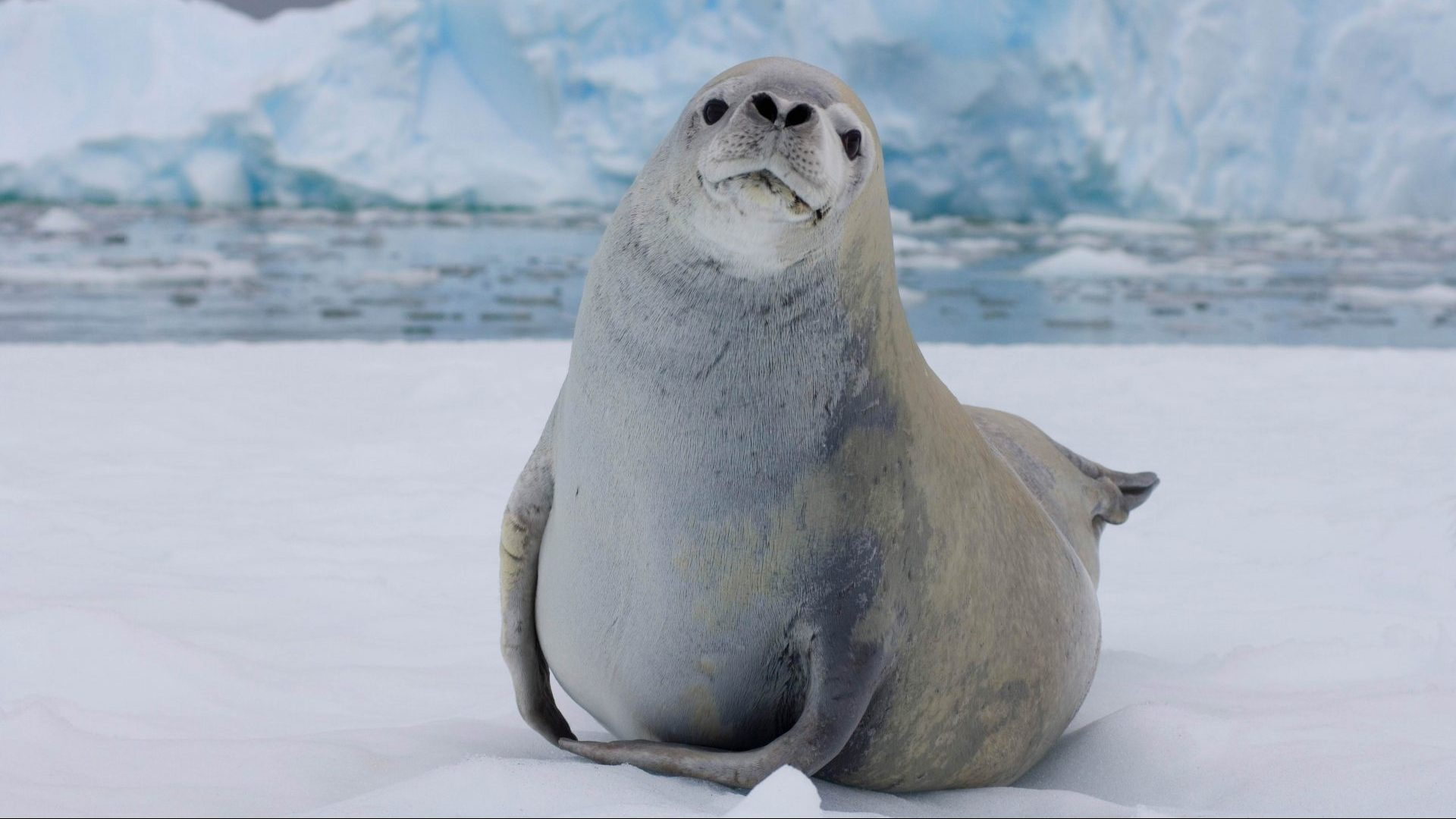 Crabeater seal resting on sea ice, Antarctica with GeoEx
