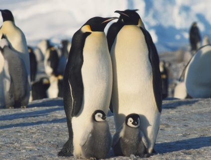 Herd of Emperor Penguins in winter, Antarctica, South Pole with GeoEx
