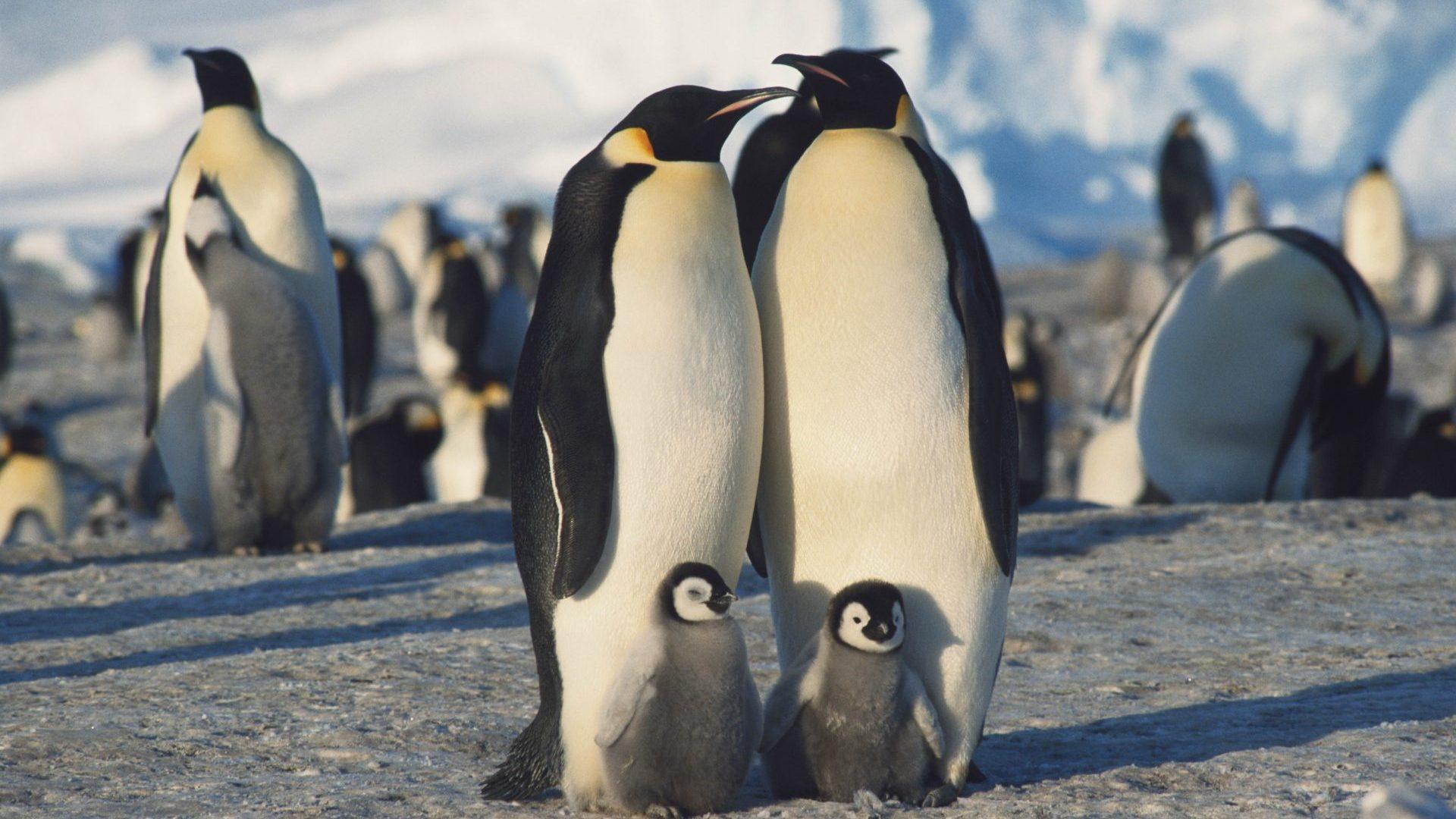 Herd of Emperor Penguins in winter, Antarctica, South Pole with GeoEx