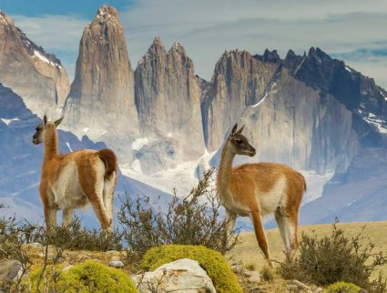 Guanacos in field, Torres del Paine, Patagonia
