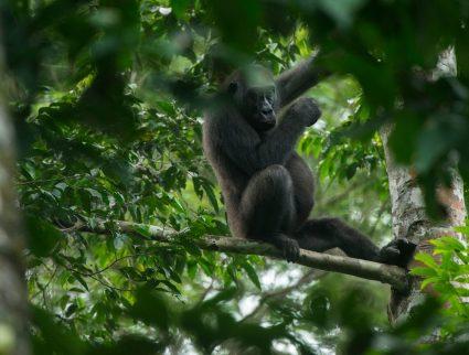 Western lowland gorilla, Kokoua National Park, Congo