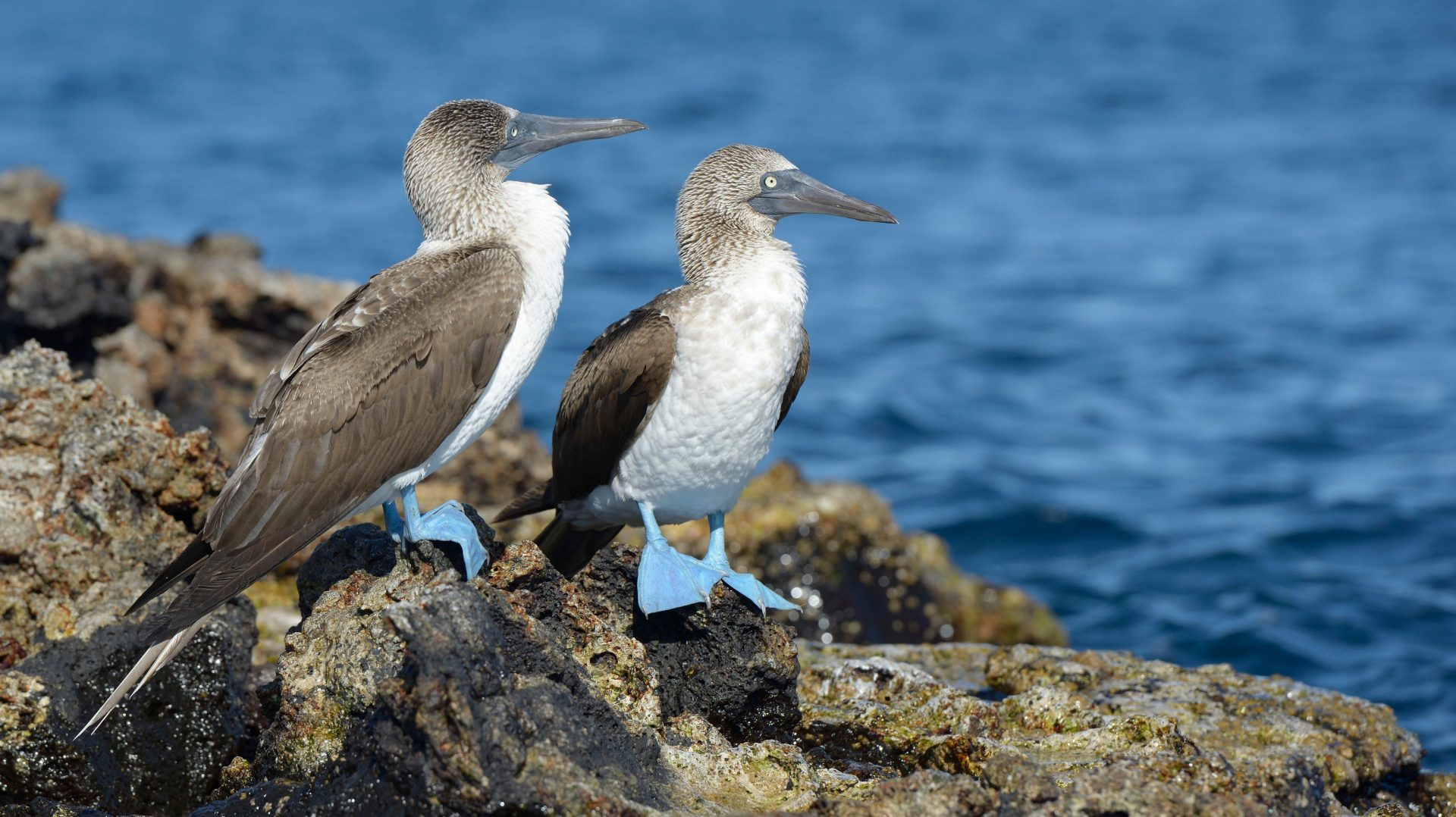 Two blue-footed boobies on Isabela Island. Galapagos & Ecuador