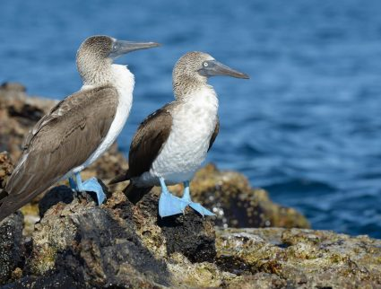Two blue-footed boobies on Isabela Island. Galapagos & Ecuador