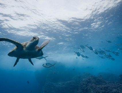 Underwater view of Pacific sea turtle off Darwin Island, Galapagos