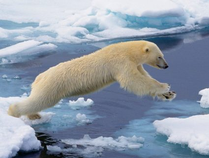Arctic polar bear leaping from one ice floe to another, Svalbard, Norway.