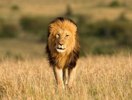 A male lion walking through the grass in the Masai Mara, Kenya