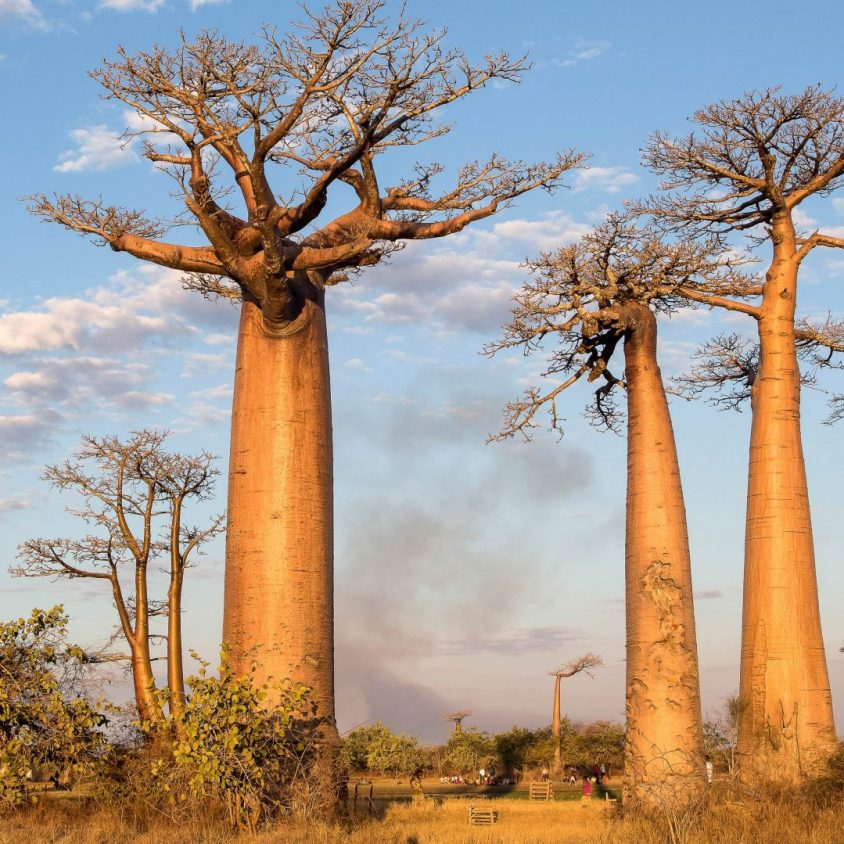 Avenue of the Baobabs at sunset, Madagascar