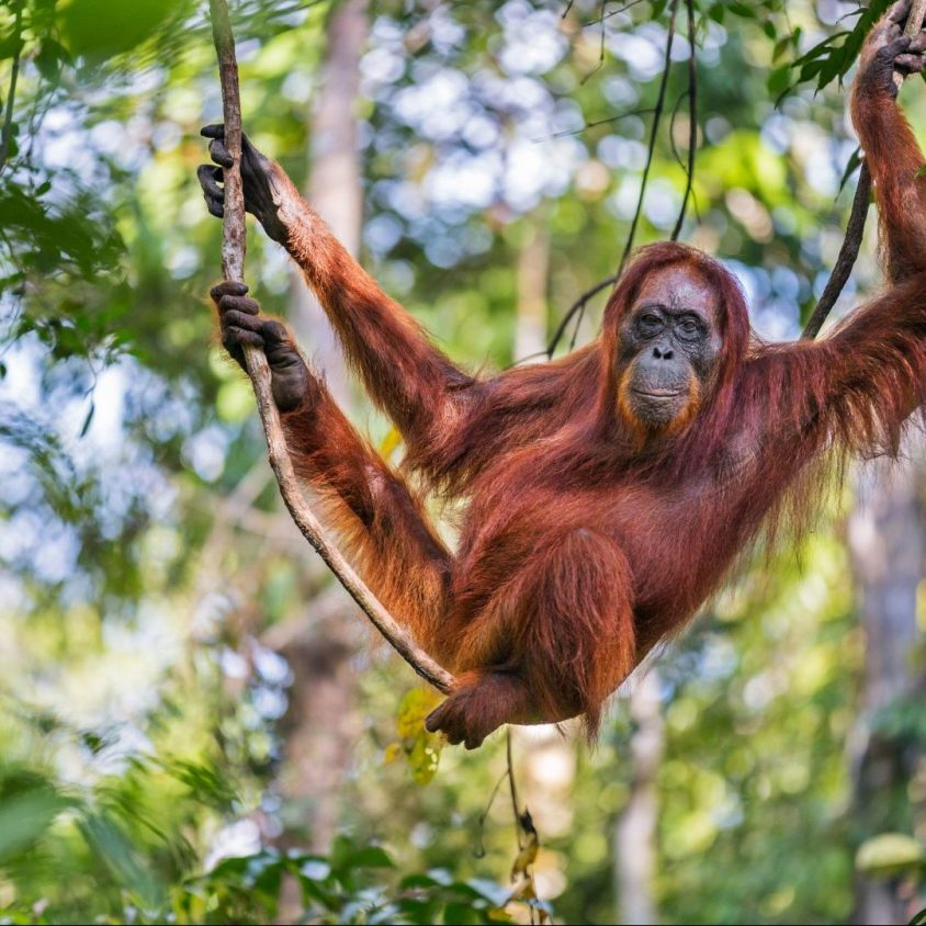 A female Bornean orangutan hanging from a tree, Kalimantan, Borneo with GeoEx