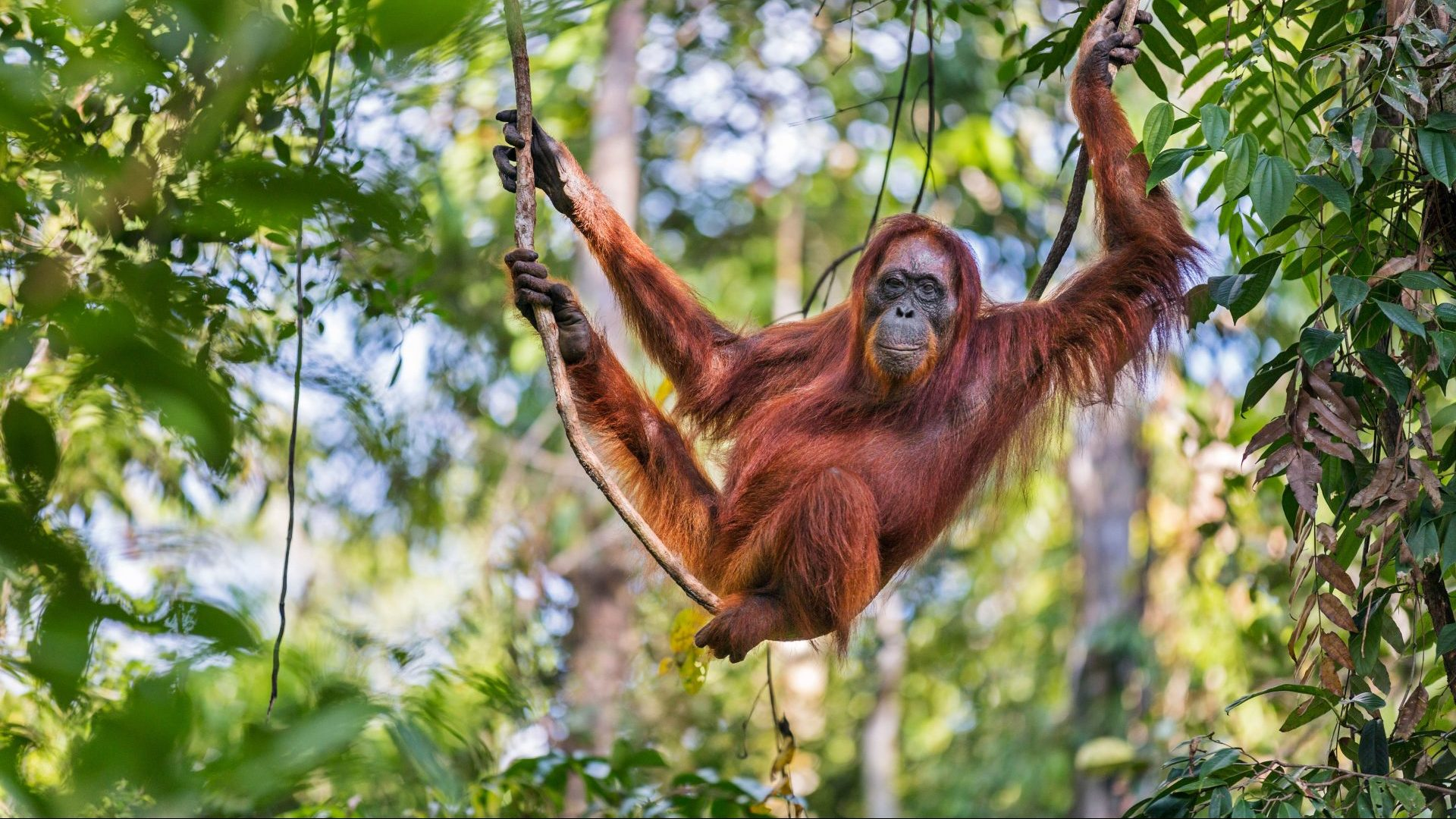 A female Bornean orangutan hanging from a tree, Kalimantan, Borneo with GeoEx
