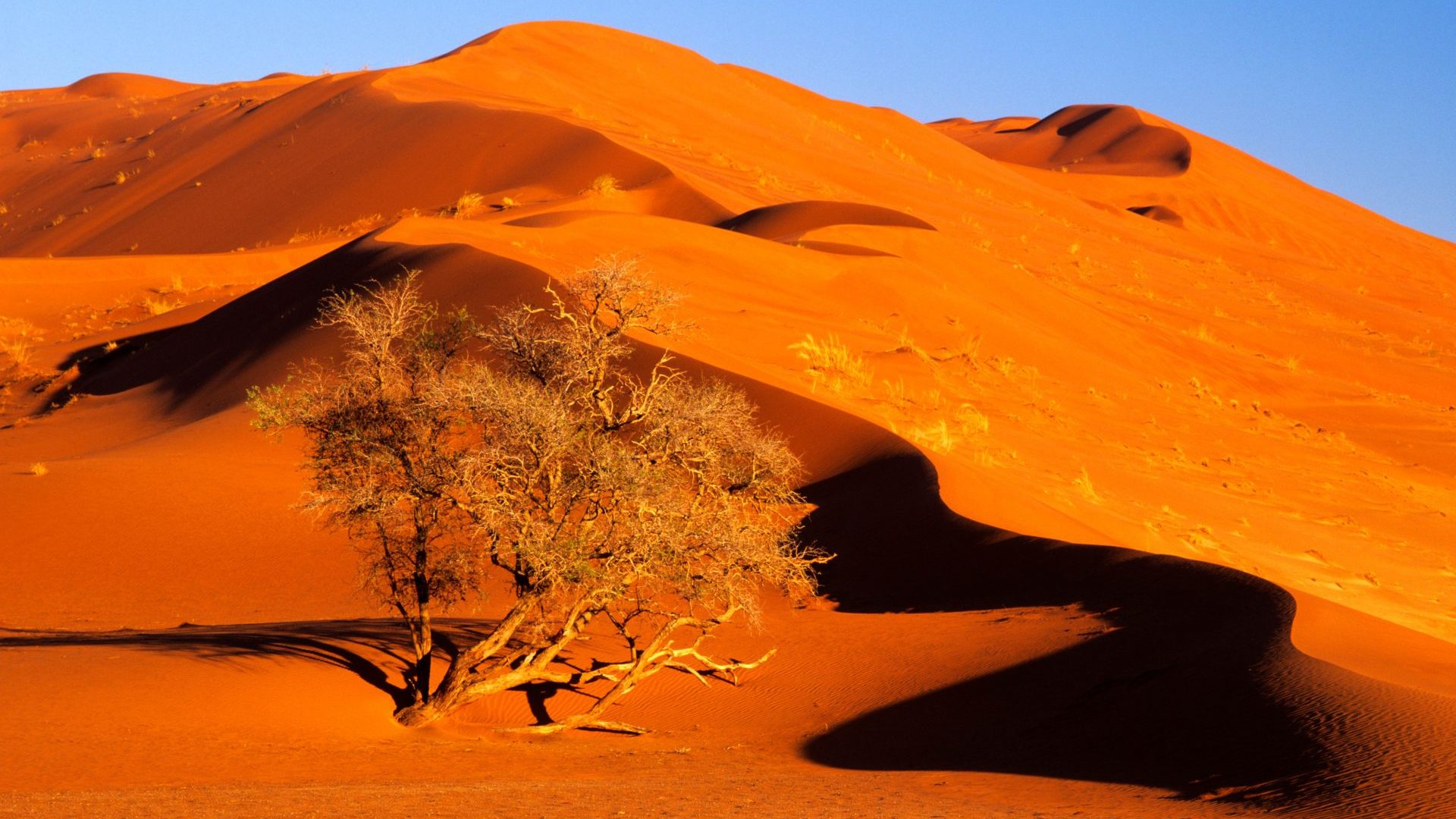 Elim Dune towering over an acacia tree in Namib Naukluft Park, Namibia