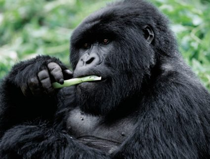 A male mountain gorilla eating a plant stem in Volcanoes National Park, Rwanda
