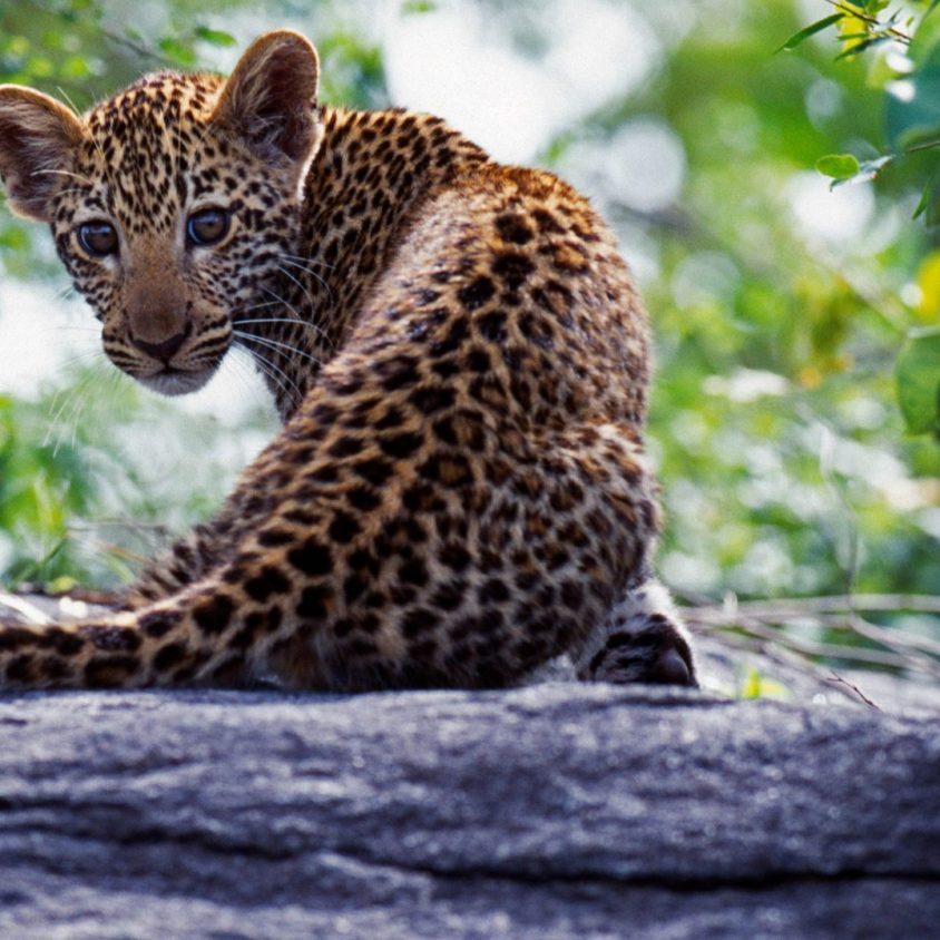 Leopard cub at Sabi Sands Game Reserve, South Africa