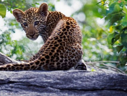 Leopard cub at Sabi Sands Game Reserve, South Africa
