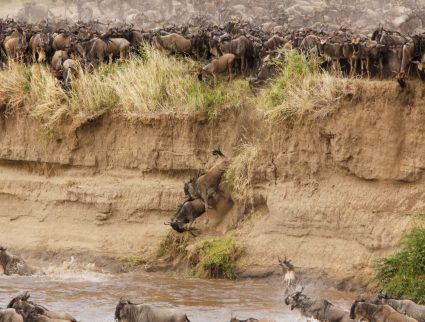Wildebeests crossing the Mara River as part of the annual Great Migration, Tanzania