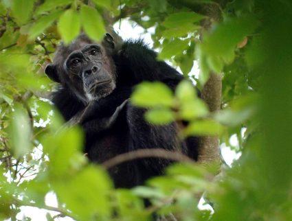 Chimpanzee in the bush at Mahale Mountains National Park, Tanzania