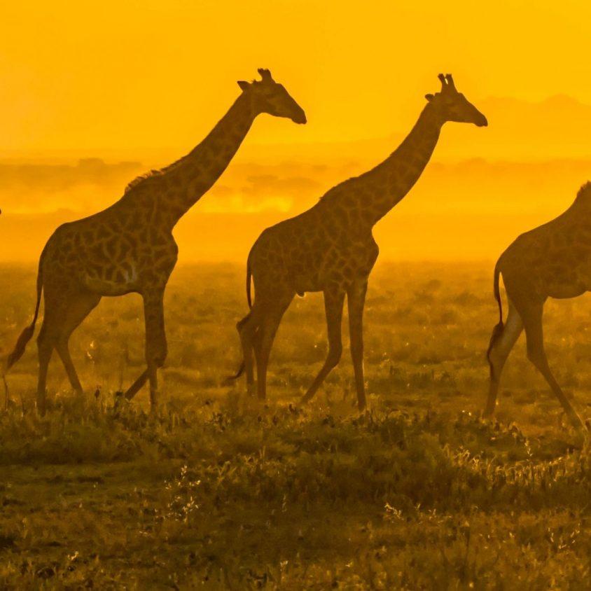 Masai giraffes walking in front of the rising sun in the Serengeti, Tanzania