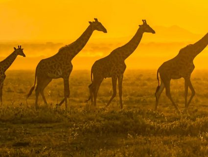 Masai giraffes walking in front of the rising sun in the Serengeti, Tanzania
