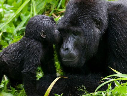 Infant mountain gorilla kisses silverback Bwindi Impenetrable National Park, Uganda