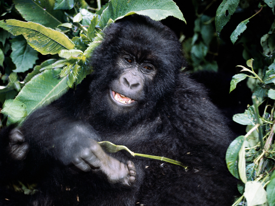 A mountain gorilla in the montane forest ecosystem of Virunga National Park, Democratic Republic of the Congo with GeoEx