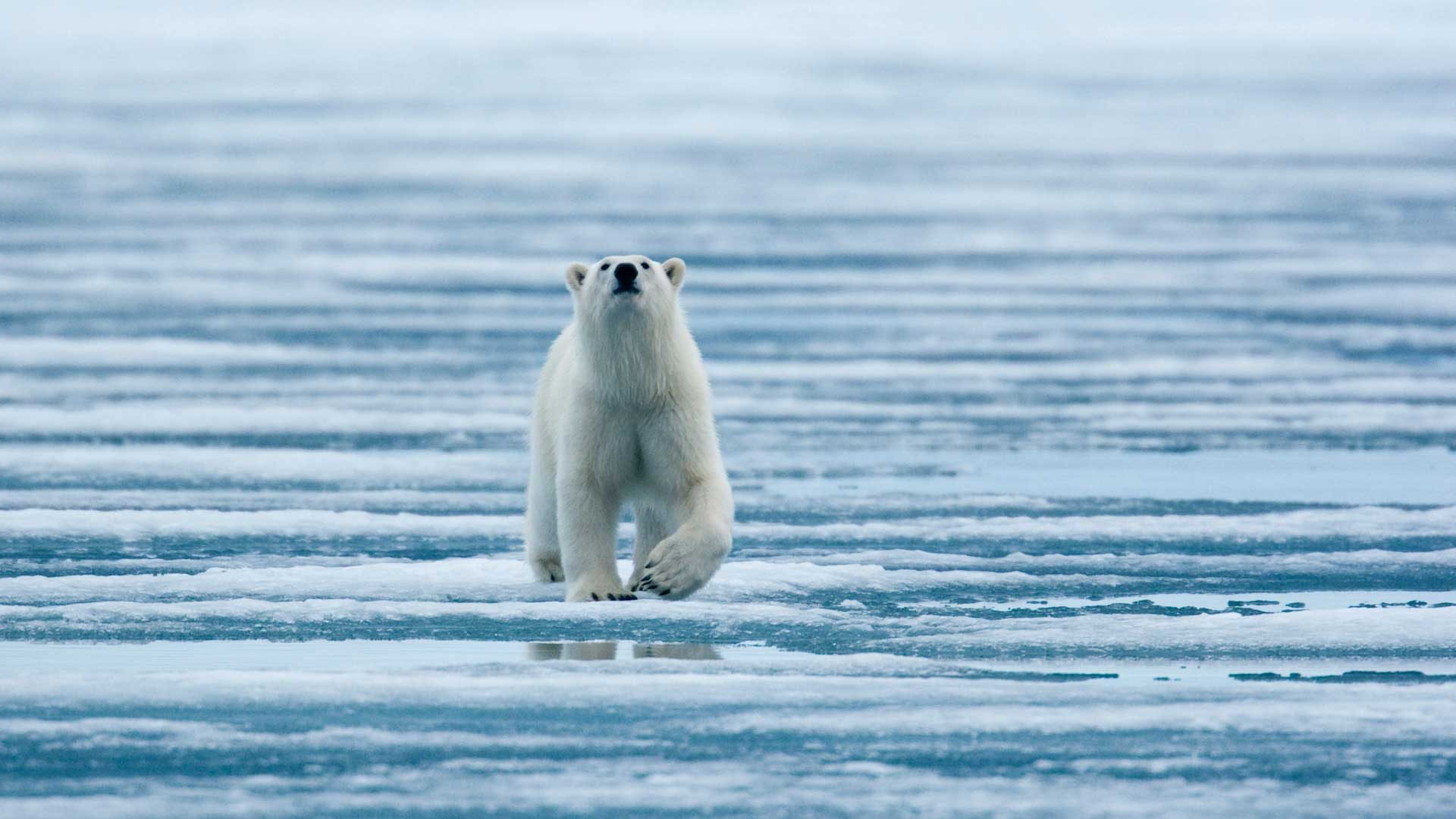 Polar bear walking on fjord ice, North Pole expedition with GeoEx