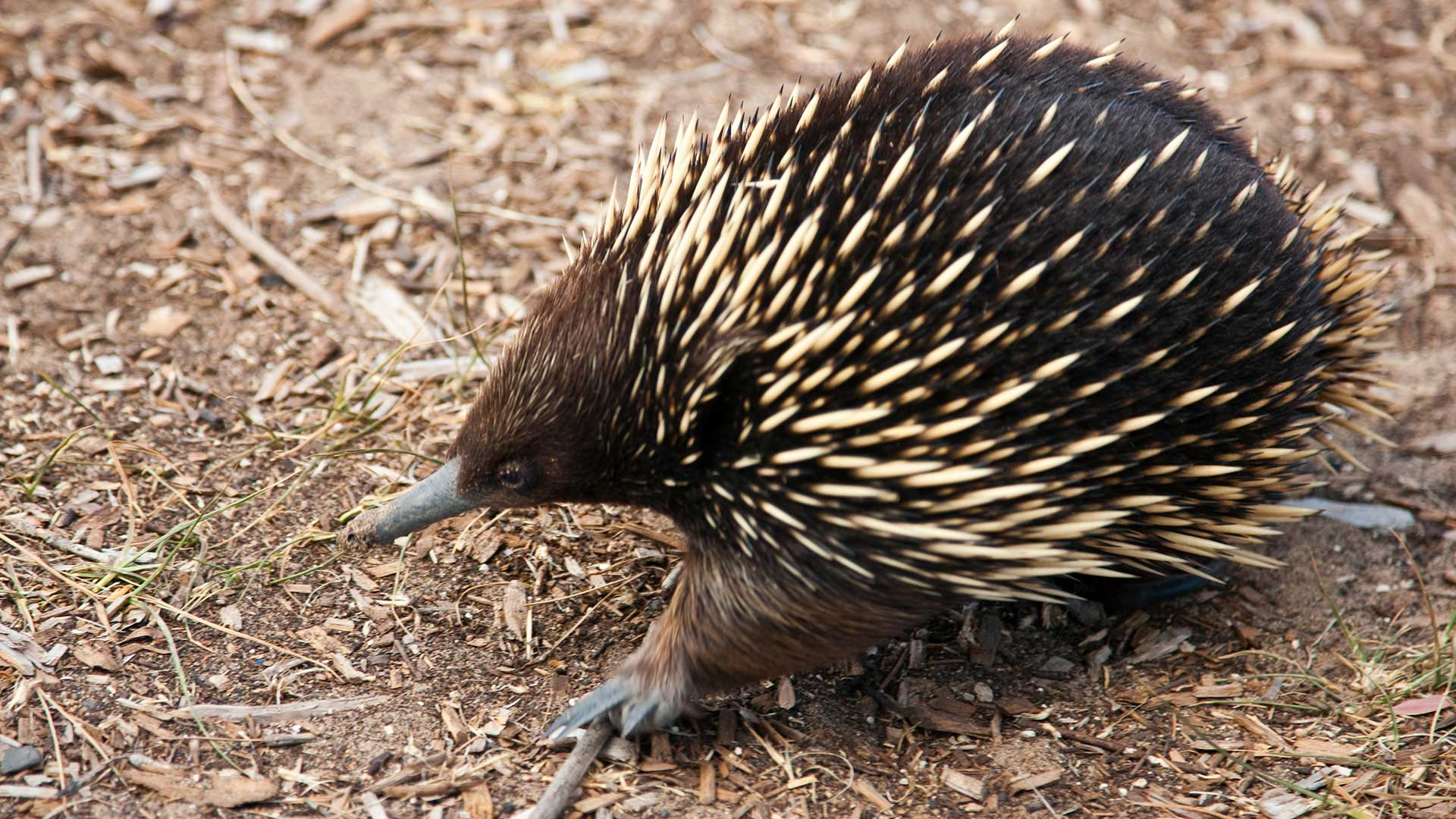 A short-nosed echidna or spiny anteater.