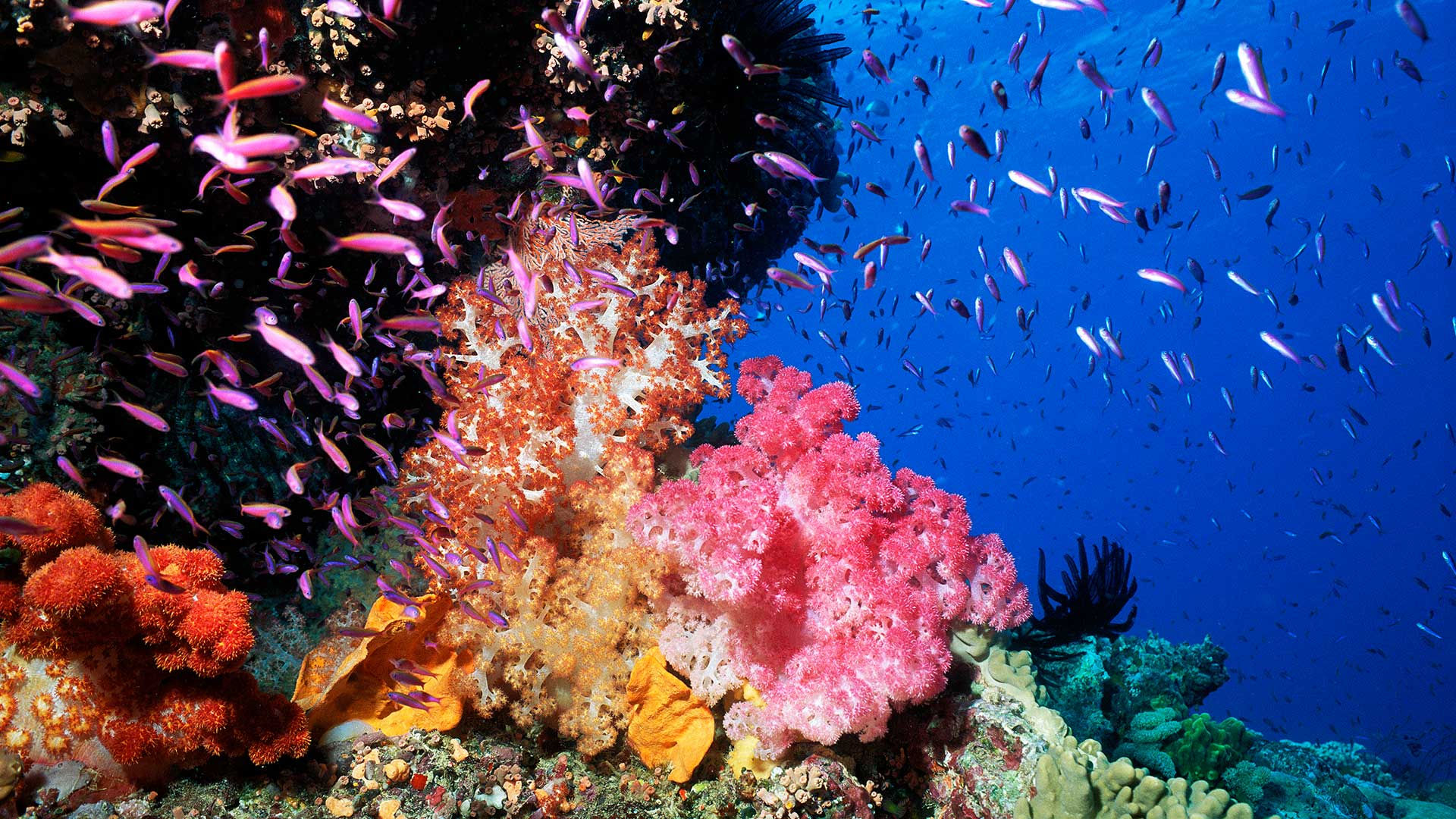 Pixie Pinnacle with Colorful Soft Coral And Anthias, Great Barrier Reef, Australia