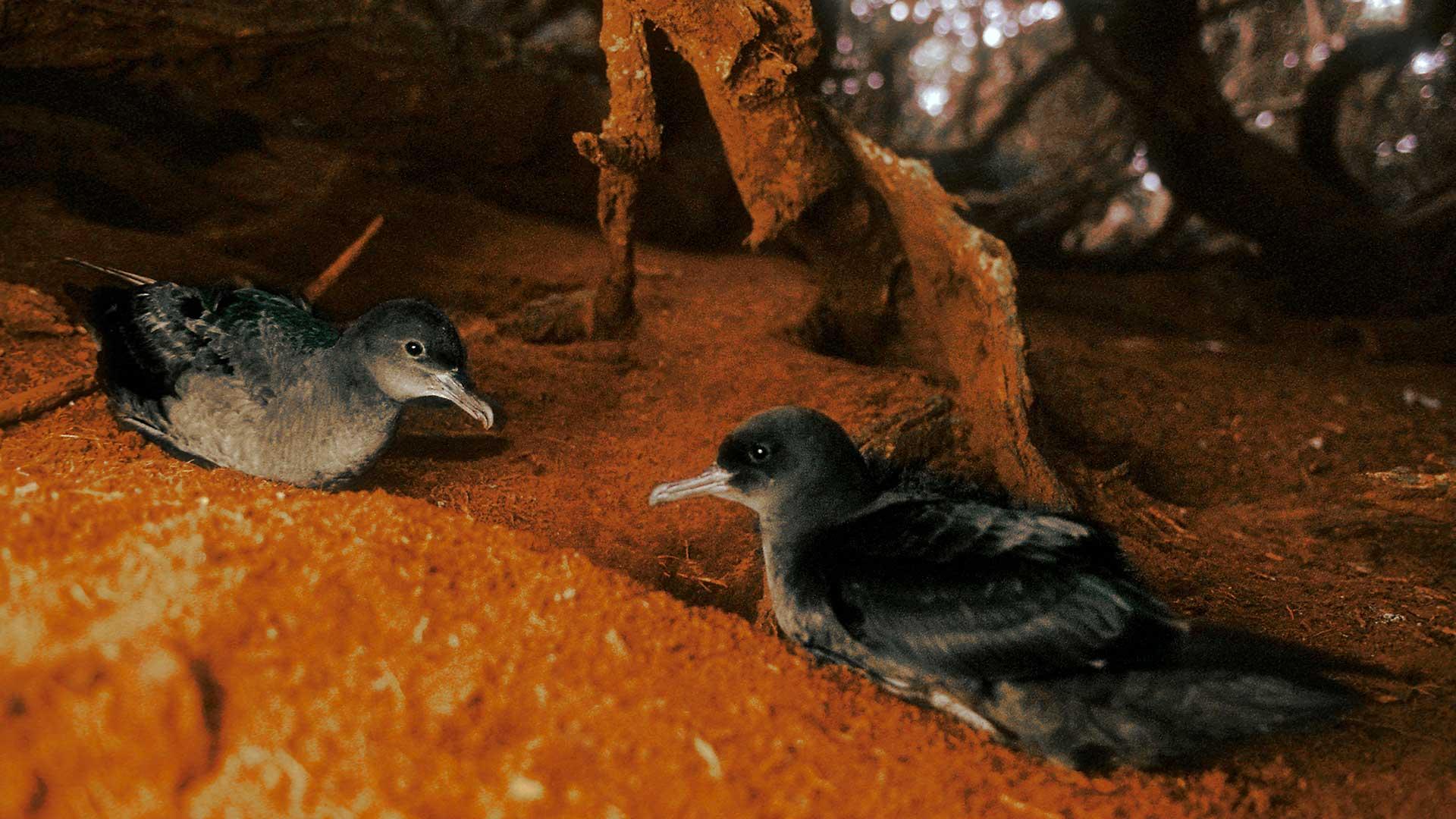 Sooty shearwaters