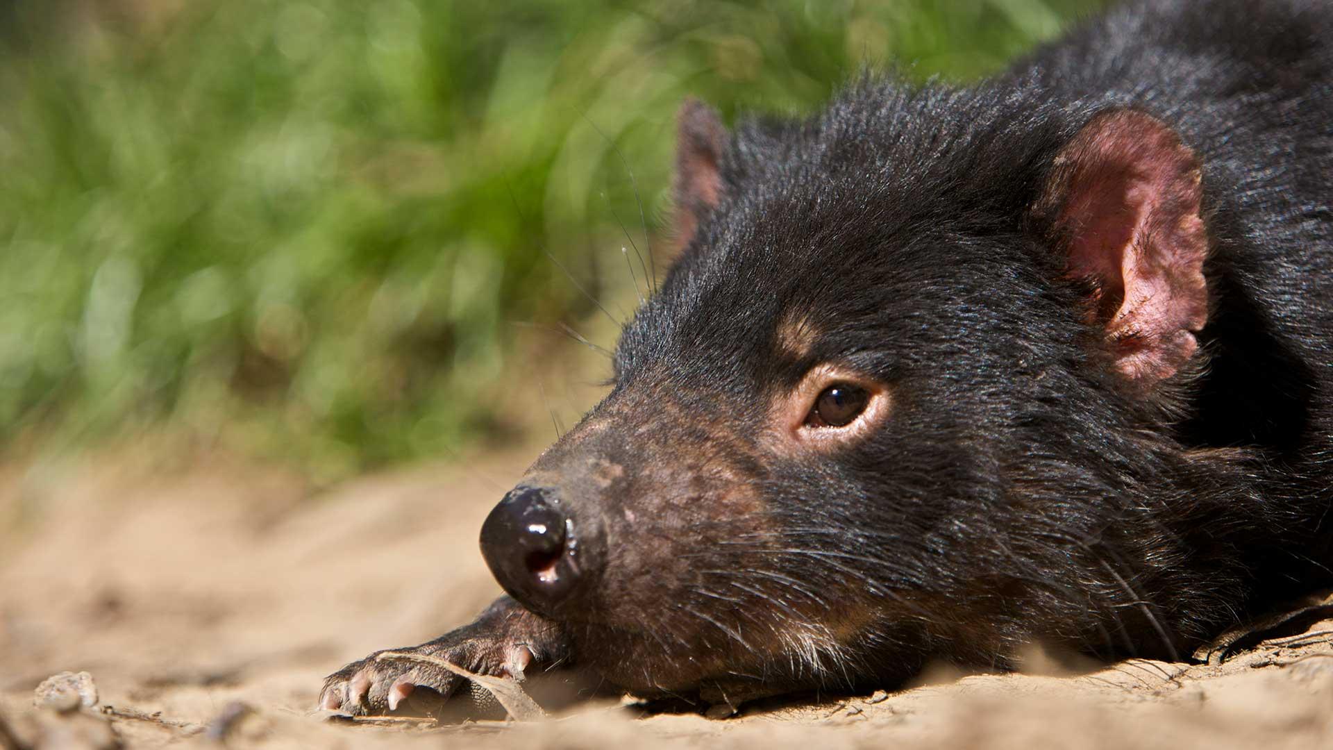 Tasmanian Devil at Trowunna Wildlife Sanctuary