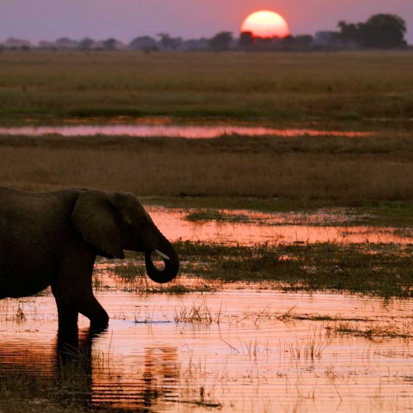 Chobe, Botswana. An elephant at sunset on the Chobe River.