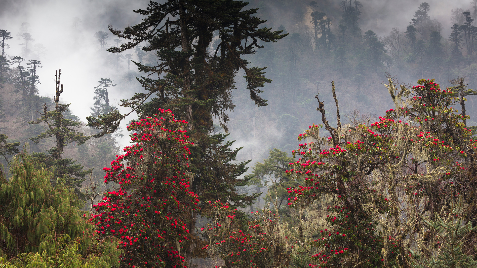 Rhododendrons in bloom in the forests of Bhutan
