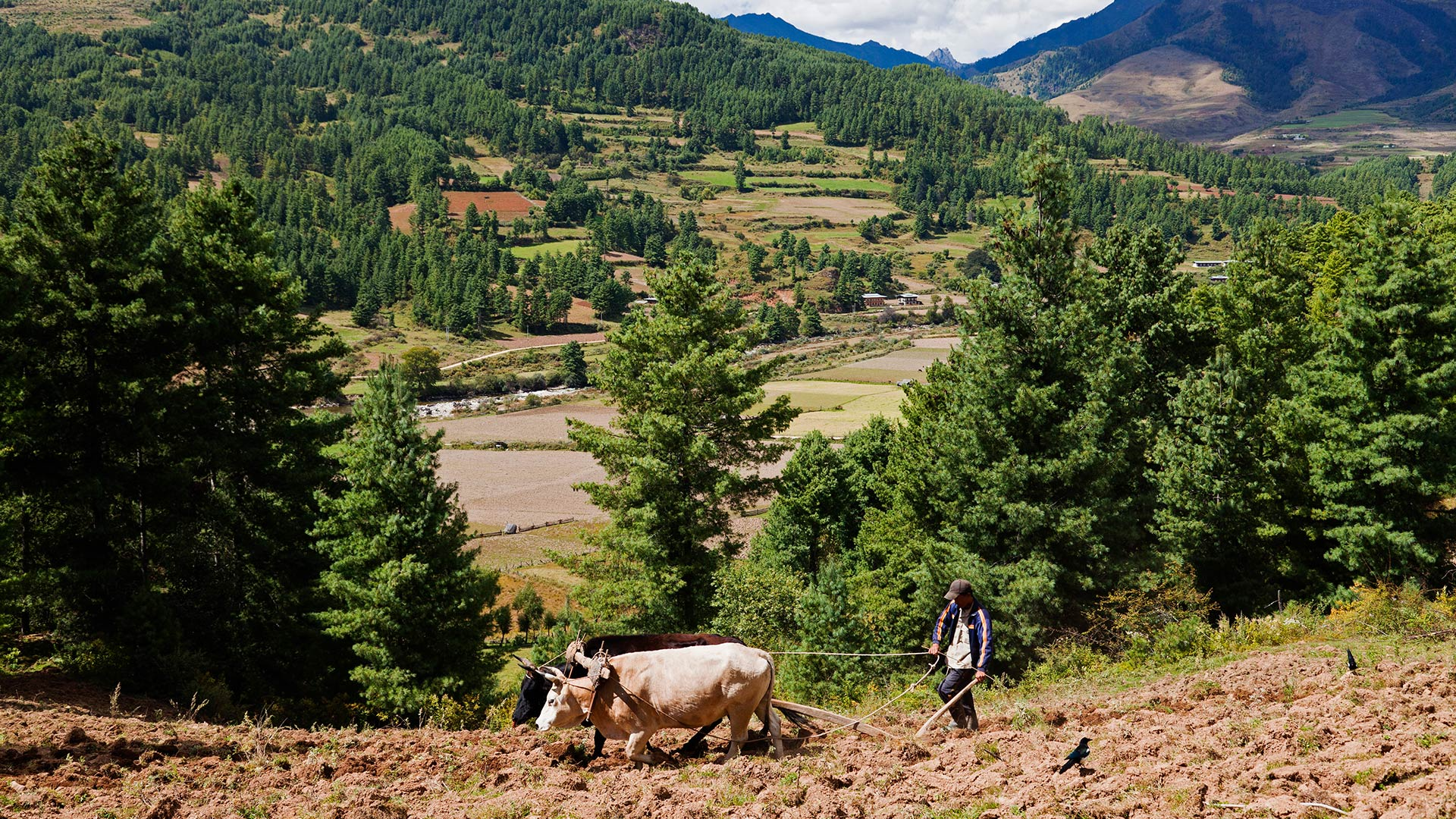 A farmer plowing the fields on a steep hillside in the Tang Valley of Bhutan
