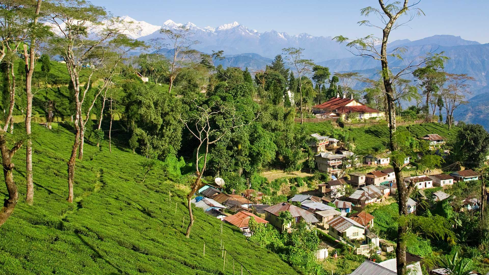A tea estate in Darjeeling, India