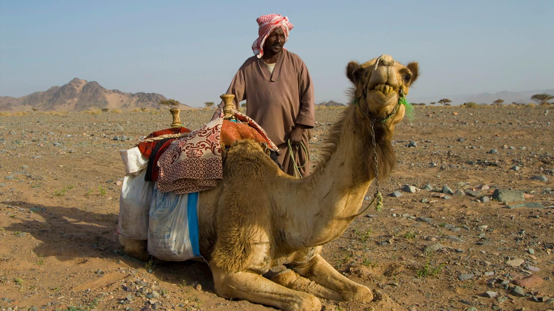 Shepherd and camel in the desert in Saudi Arabia