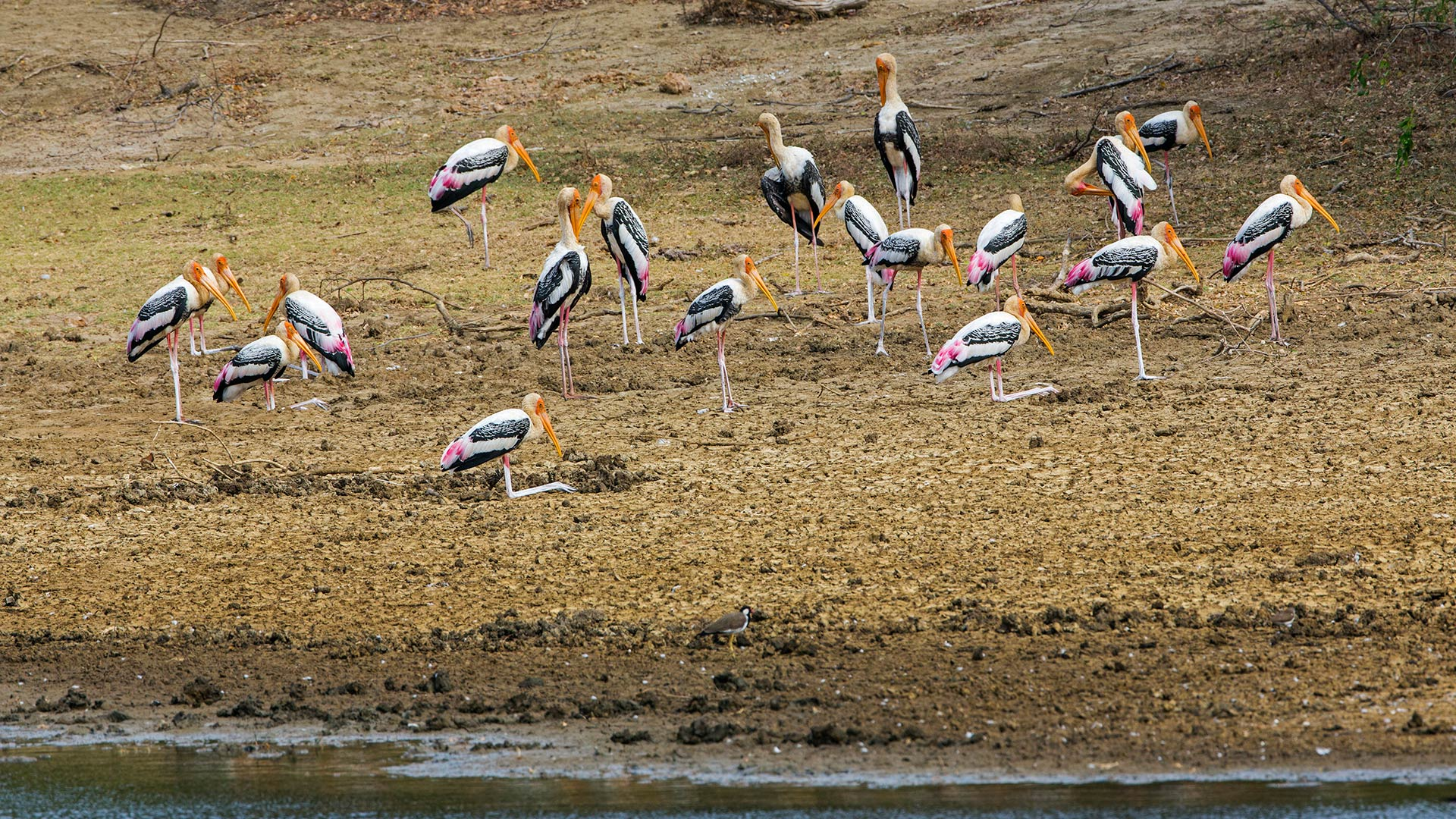 A flock of painted storks in Yala National Park, Sri Lanka