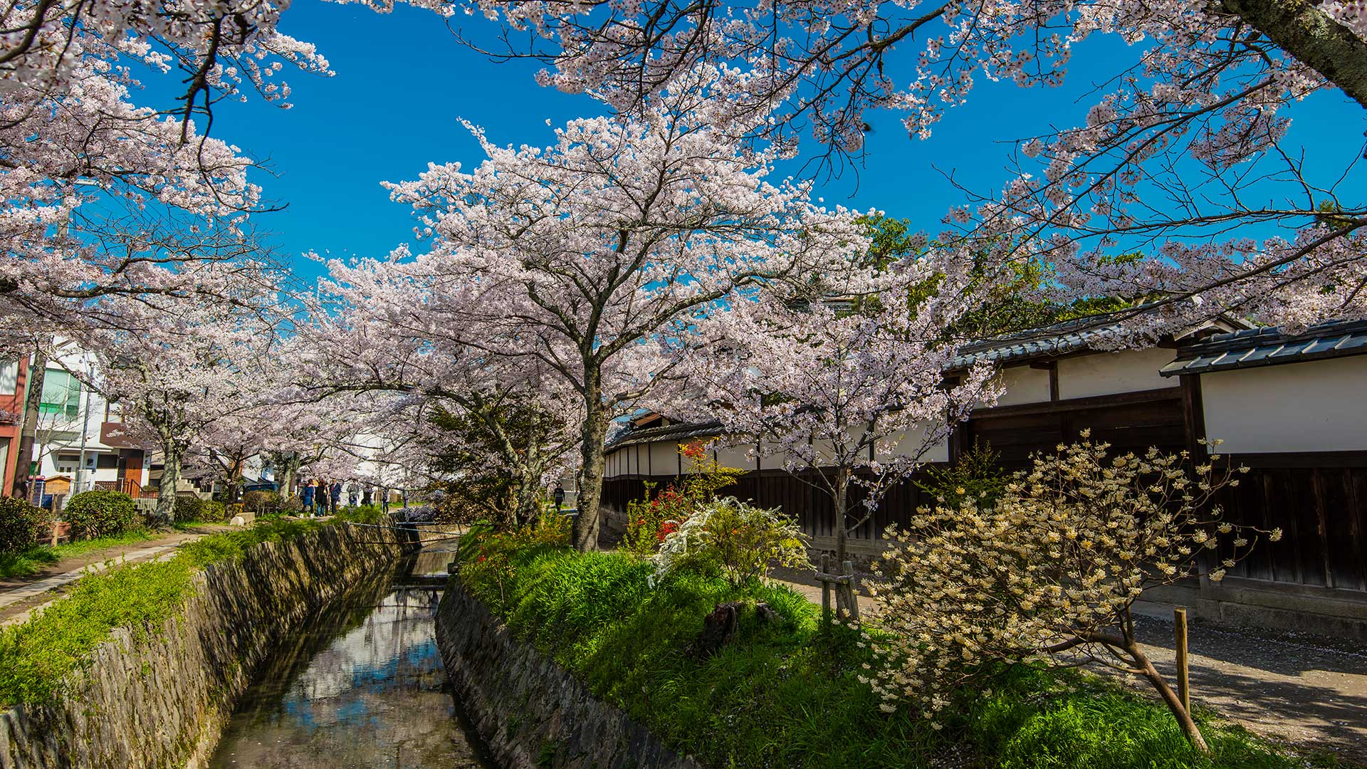 Blooming cherry trees in springtime along the Tetsugaku-no-Michi